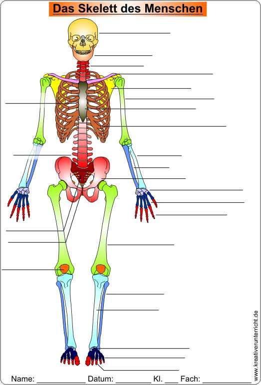 Die Knochen des Skeletts skeleton of men Video Clip Worksheet Solution
