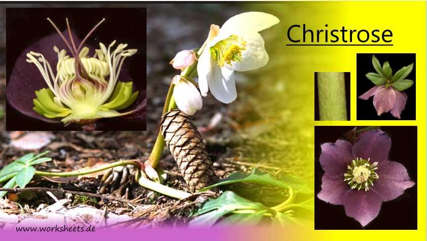 Die 11 schönsten Frühlingsblumen für den Schatten   freudengarten