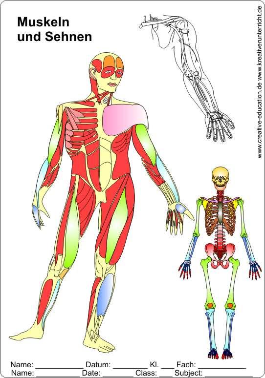 Die muskeln des menschlichen körpers the muscles of men