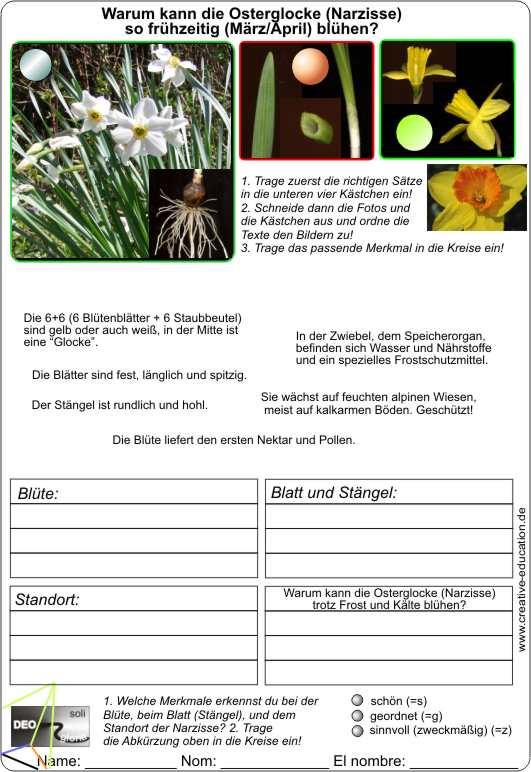 Steckbrief narzisse Jonquille (Narcissus