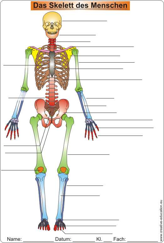 Die Knochen des Skeletts skeleton of men Video Clip Worksheet Solution