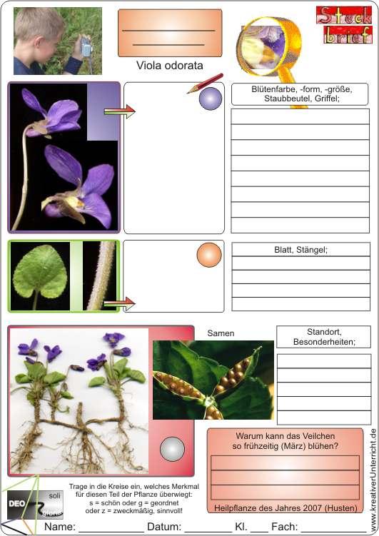 Veilchen Viola odorata selbst entdecken
